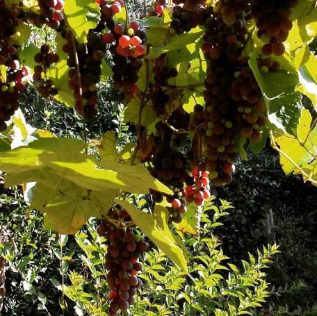 uva-di-casa